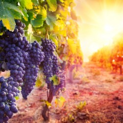 Sun and grapes iStock_000071859959_Small