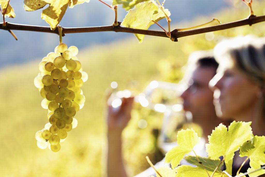 chardonnay wine being tasted in a chardonnay vineyard