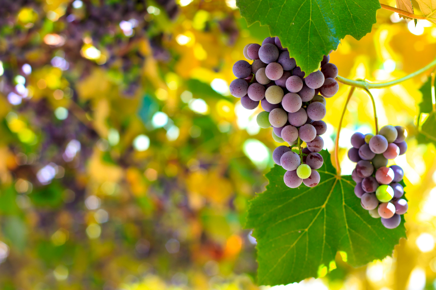 Red Grapes in Vineyard iStock_000026152832_Small