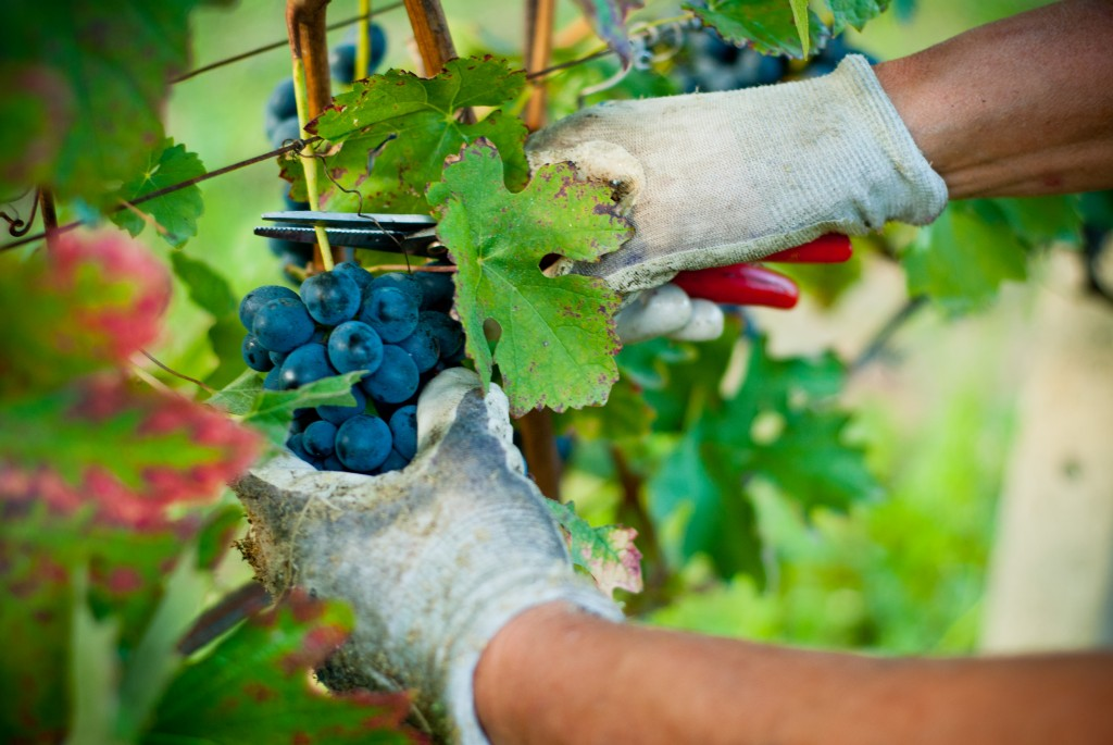 Harvest of red grapes