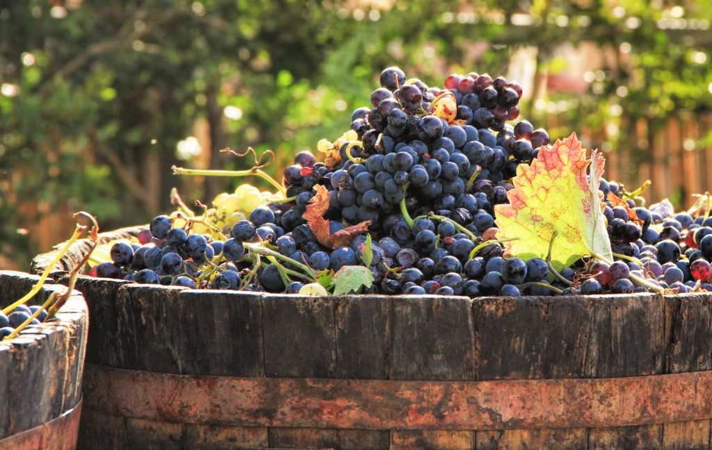 Harvesting grapes: a bucket of ripe grapes