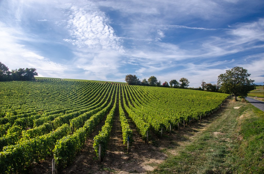 Landscape of vines in the Loire Valley