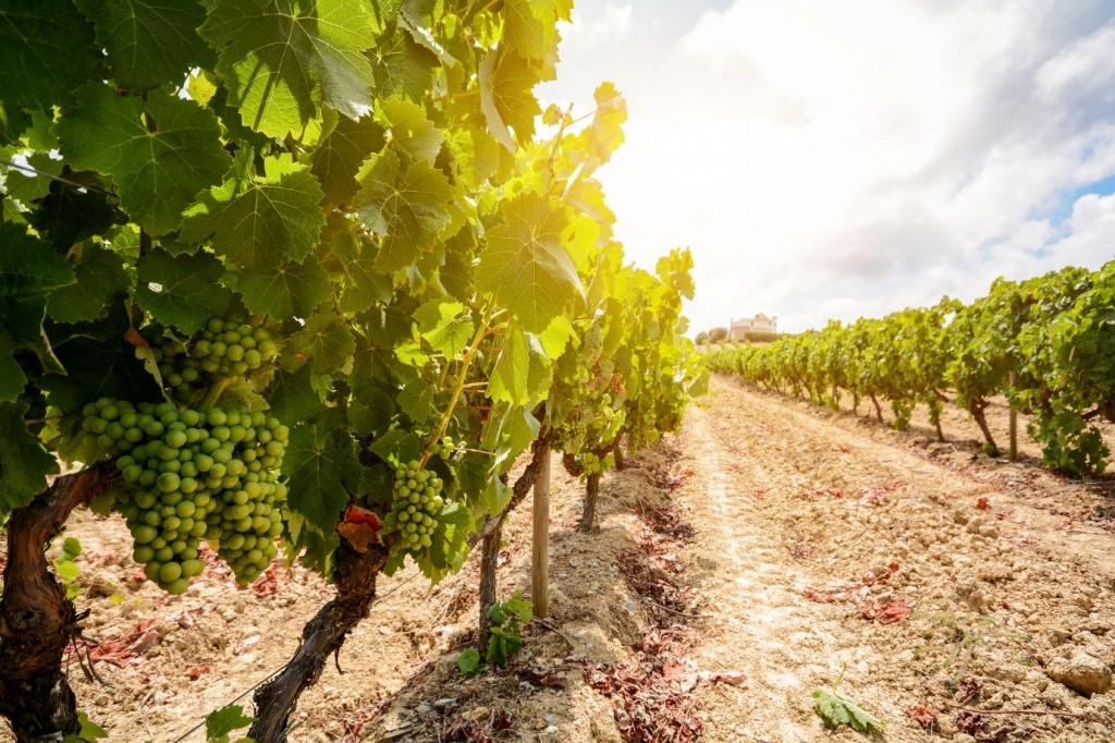 Growing grapes for vinho verde wine